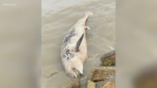 Volunteers say they've found hundreds of dead animals on Galveston Island
