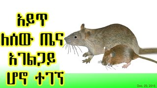 አይጥ ለሰው ጤና አገልጋይ ሆኖ ተገኘ The mouse(rat) & its human health benefits - VOA (Dec 20, 2016)