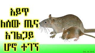 አይጥ ለሰው ጤና አገልጋይ ሆኖ ተገኘ The mouse(rat) & its human health benefits - VOA (Dec 20, 2016)