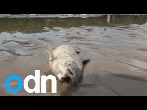 Hundreds of dead fish wash up on Bolivia's Rio Grande river