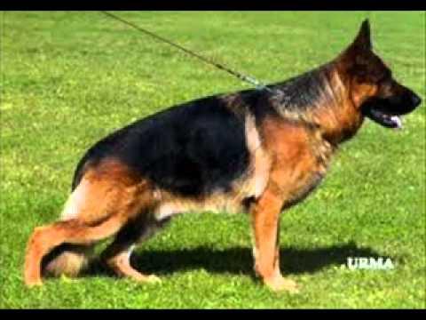 Alsatian Dog For Sale in Pakistan Dog Sale in Pakistan Dog Sale