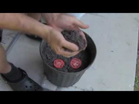 download lagu The Easiest Way To Grow Tomato Seedlings gratis