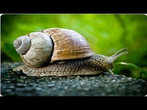 Clique e veja o vídeo Curso Escargots - A Tecnologia Correta de Criação - Alimentação e Água