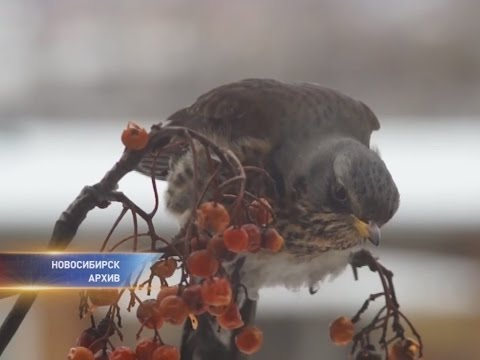 Дрозды-рябинники уничтожают урожай новосибирских дачников