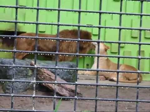 ゆうきとキング☆釧路市動物園ライオン