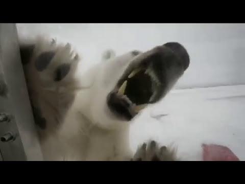¡Impactante! Camarógrafo es atacado por un oso polar