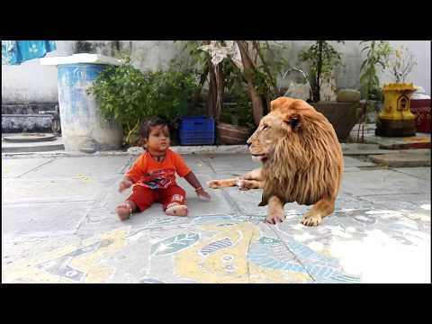 Baby Meets Lion | Most Shocking Video | Baby With Lion