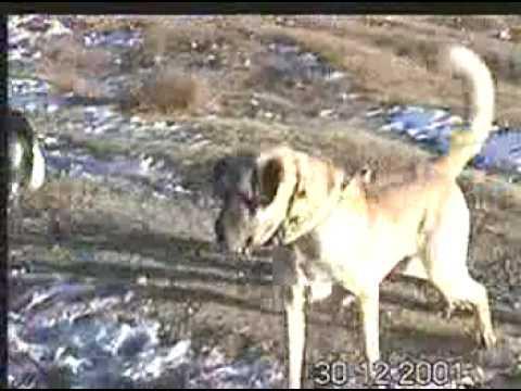 Harika bir AKSARAY Köpeği BEETHOVEN