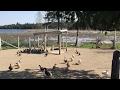 Duck Rush... #35 1,000  Ducks 2017