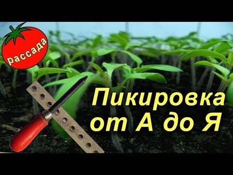 Пикировка рассады томатов – мои советы (Кемеровская область)