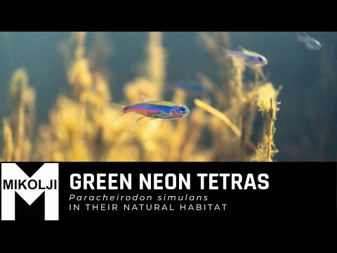 Neon tetras, Paracheirodon simulans in their natural habitat www