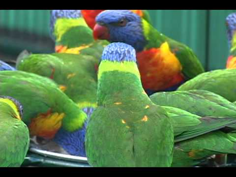 polytelismedia - Rainbow Lorikeets wild and free in their native Australia