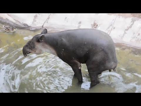 Tapir Taking a Poop