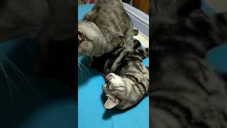 Cats are so funny you will die laughing 2081