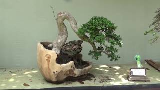 Jenis-jenis tanaman yang sering dijadikan bonsai - bonsai tree