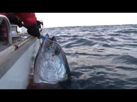 GIANT SOUTHERN BLUEFIN TUNA on Stella - YouFishTV Part 2