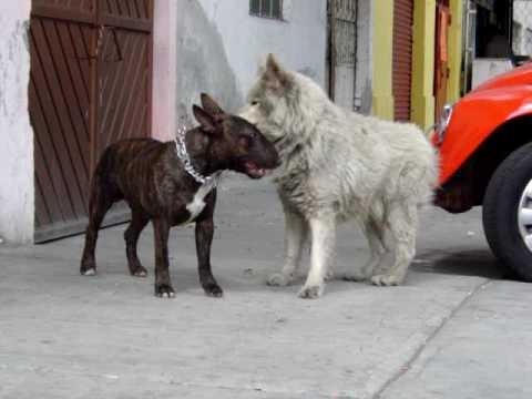 Bull Terrier Ingles GWGales Enojado