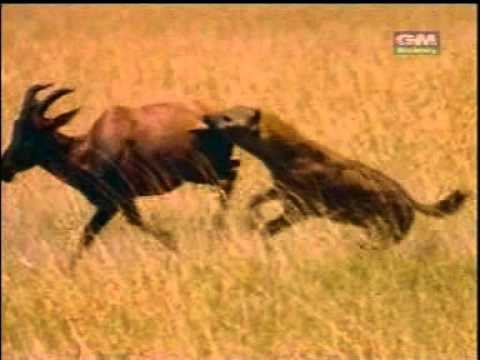 Hyenas attack a deer 