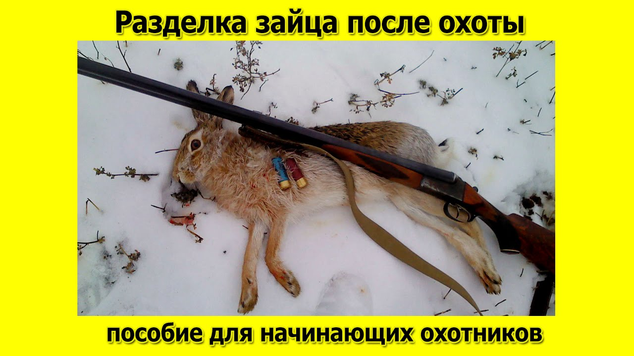 когда разрешена охота на зайца 2017 слепые прослушивания