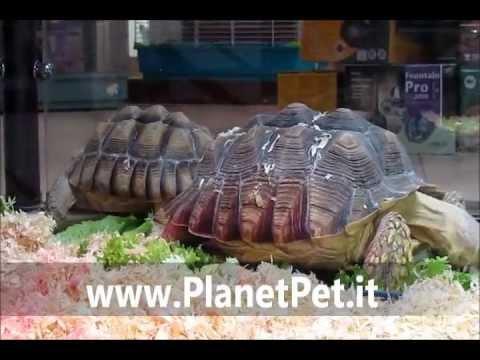 Geochelone Sulcata – www.PlanetPet.it