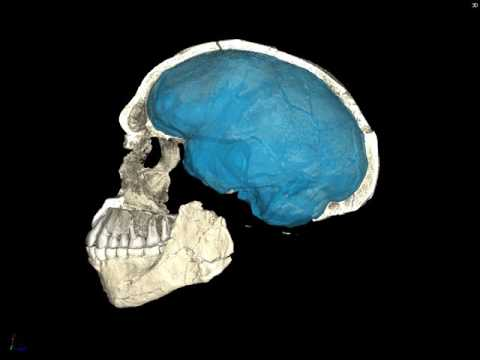 Homo sapiens Skull Jebel Irhoud