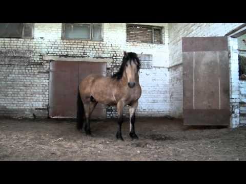 Баланс (Бойкая - Горец) л. Орлика белорусска упряжная порода