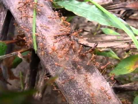 Termite Soldiers vs Ants Termites vs Ants.mp4