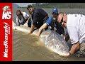 Lagu Olbrzymi jesiotr 340 cm złowiony przez Polaka !  Biggest Sturgeon