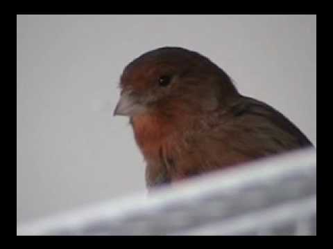 Singing Canary Video
