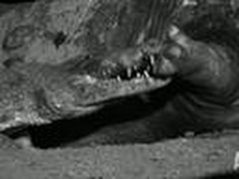 Hungry Croc Feeds on Hippo | Eating Giants: Hippo
