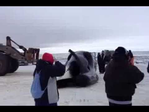 When the Iñupiat Eskimo people catch a whale, they use a loader to transport it from the beach to a flat concrete area where they butcher the whale and divid...