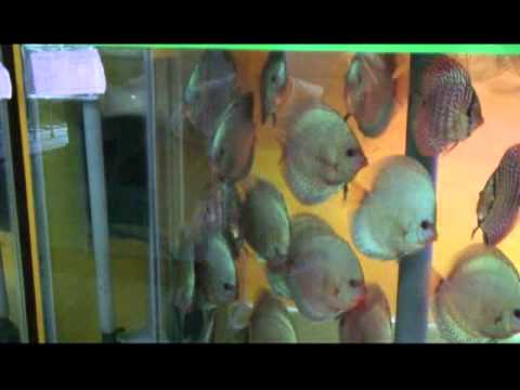 Inti Aquarium, World's Largest Discus Fish Hatchery