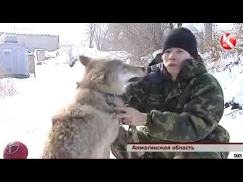 Kazakh Villagers Replace Guard Dogs with Domesticated Wolves