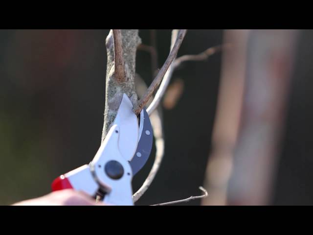 How to Prune Crape Myrtles...correctly!