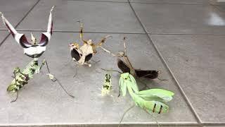 Aggressive Mantis Squad