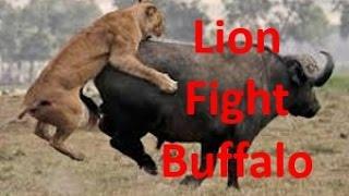 Sử tử đánh nhau với trâu rừng, cả đàn trâu không cứu nổi