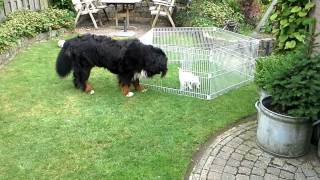 Bernese mountain dog playing with Westie in garden