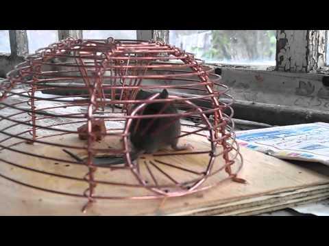 Как изготовить ловушку для крыс своими руками 53