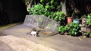 8:52完整版 Feral cat TNR Neighborhood Cats Drop Trap 20141002