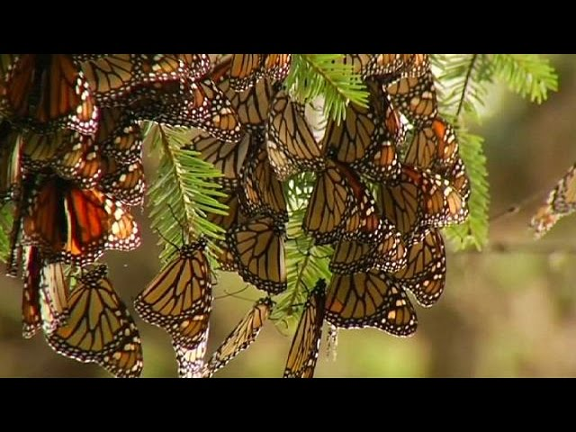 Monarch butterflies make annual migration to Mexico