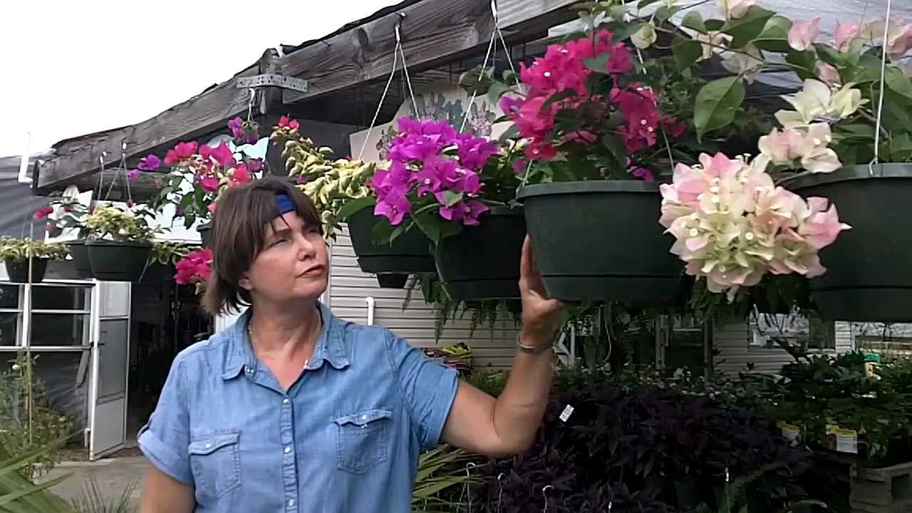 Youtube Hanging Flower Baskets : Bougainvillea flowers great for hanging baskets