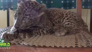 Baby Leopard Cubs !