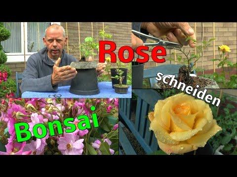 Rosen Bonsai Das Erste Mal Schneiden