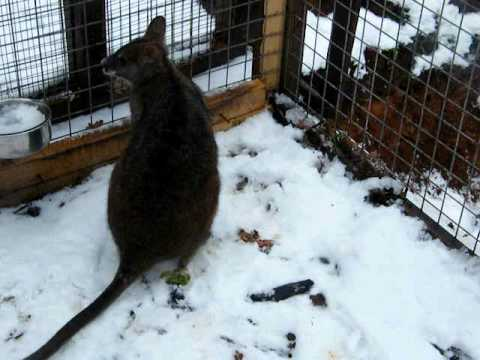 Parma Wallaby in the snow Video