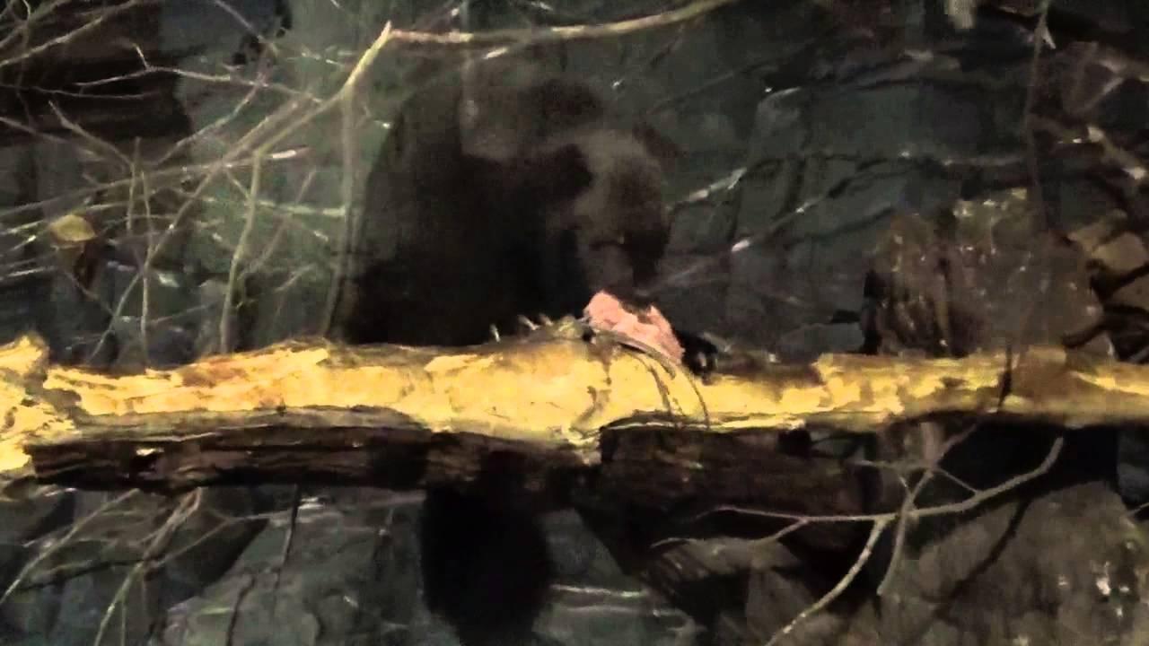 koutaiken クズリ−2(シンガポール動物園のツンドラ館) - YouTube