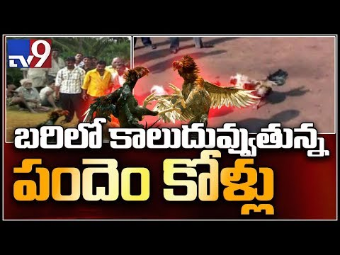 AP police say they will clamp down on bird fights - TV9