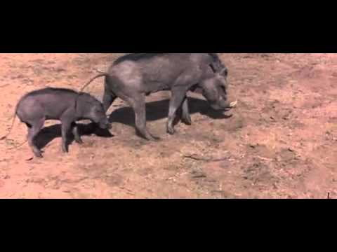 Marula Fruit - How animals can get really drunk and even fall to the floor - Elefants - Monkeys.mp4