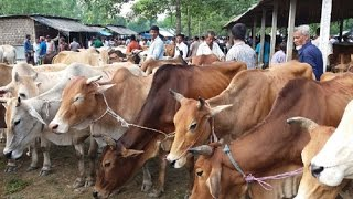 পানির দরে বিক্রি হচ্ছে গরু তাও আবার বাংলাদেশের!!! cow