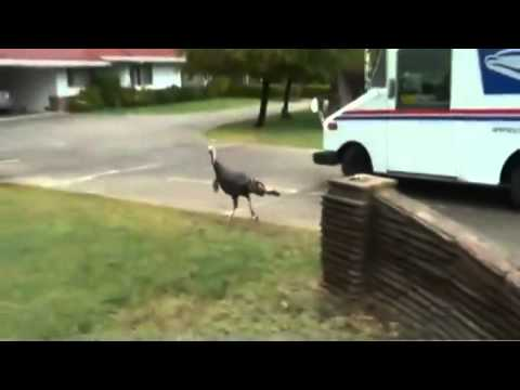 Wild Turkey Chases News Reporter