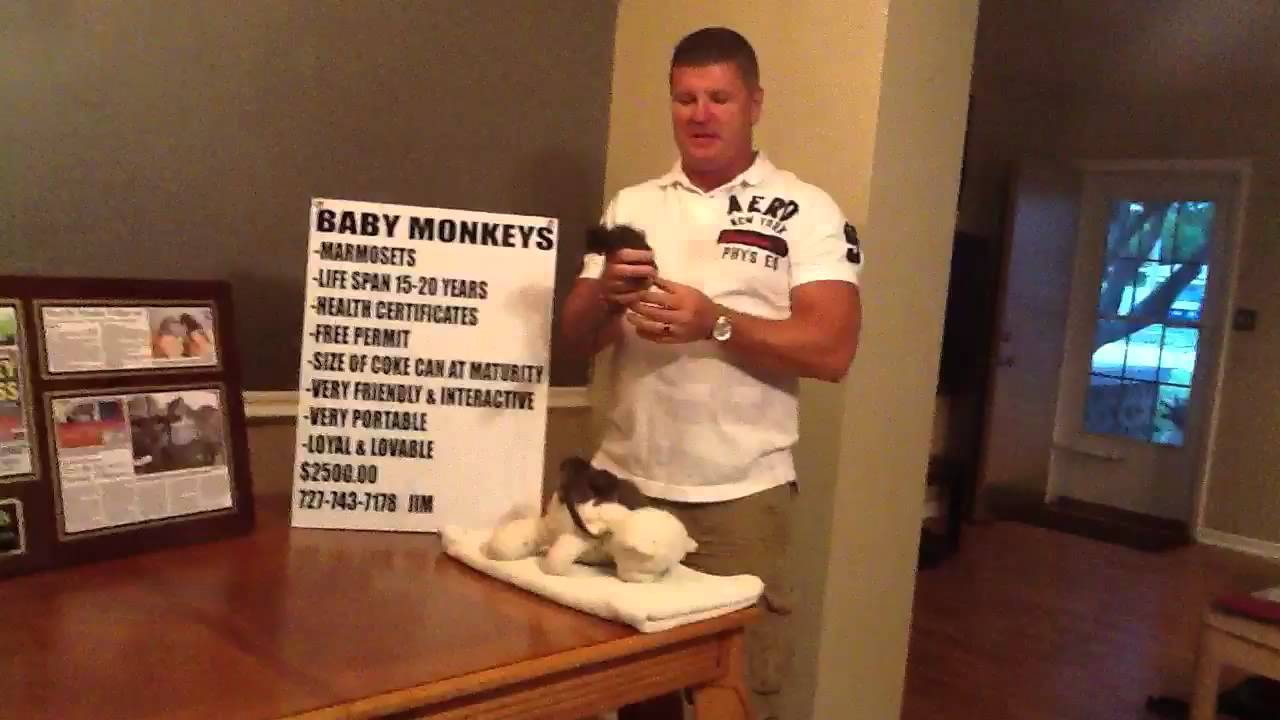 Baby Pet Marmoset Monkeys for sale in St Pete Florida ...